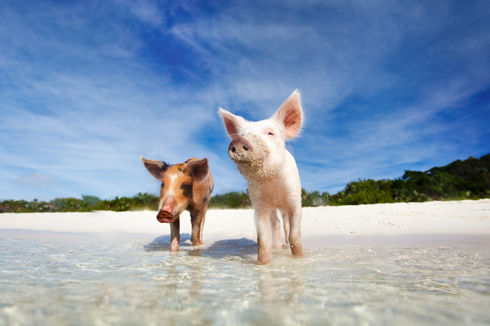The swimming pigs of The Bahamas on Pig Beach in the Exumas