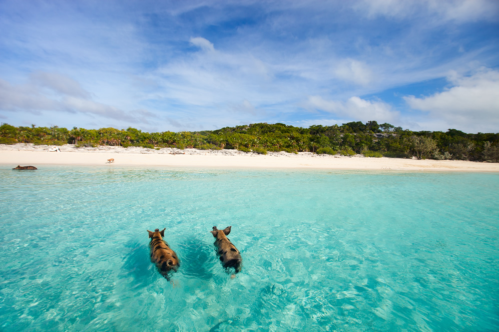 The swimming pigs of Big Major Cay in The Bahamas