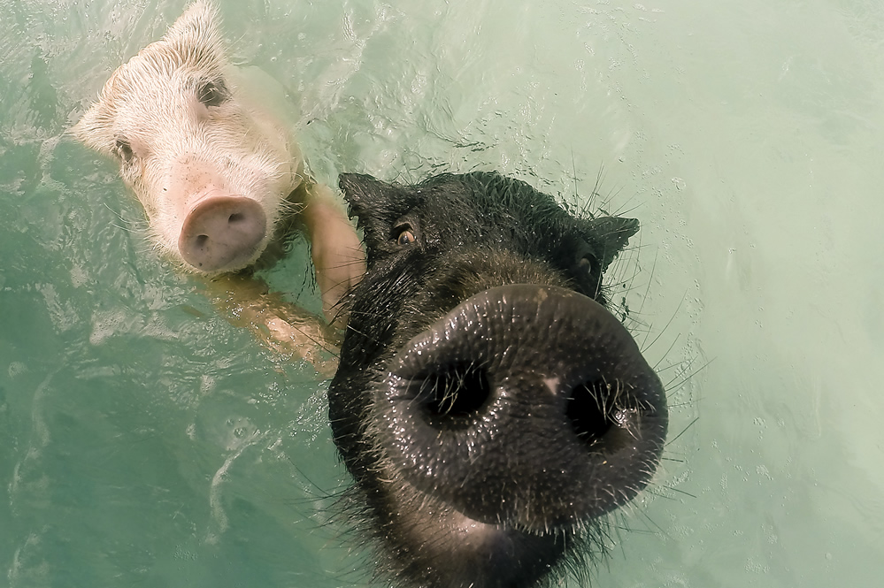The Bahamas' famous swimming pigs