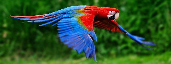 Macaw in flight in Costa Rica