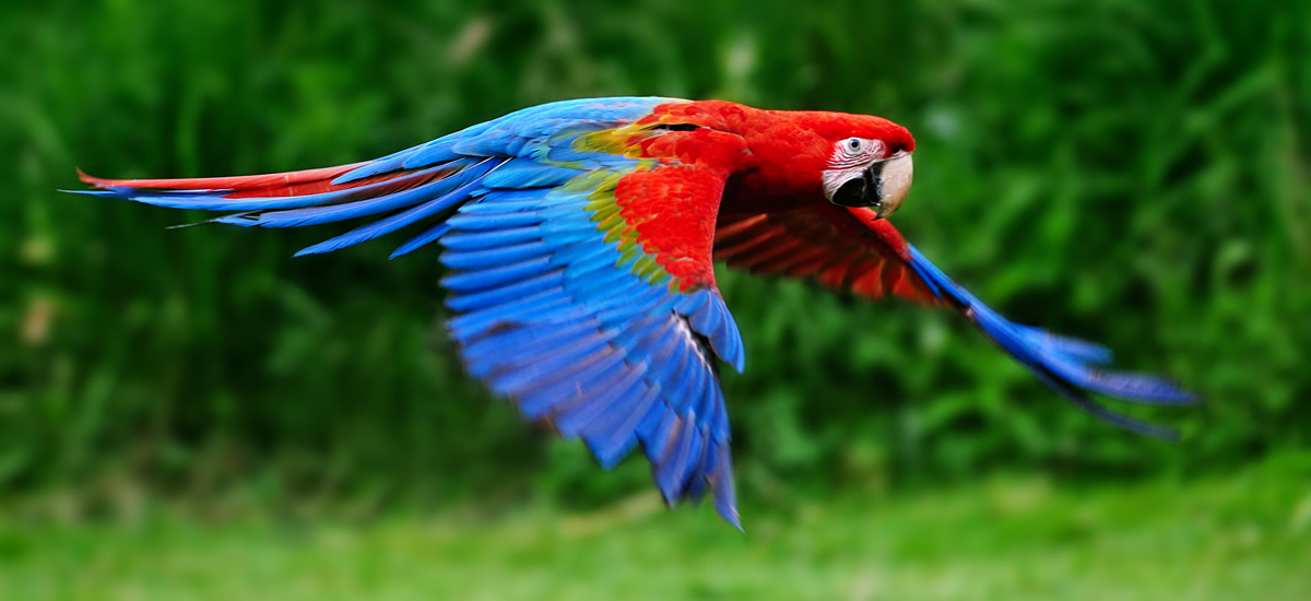 Macaw in flight in Costa Rica