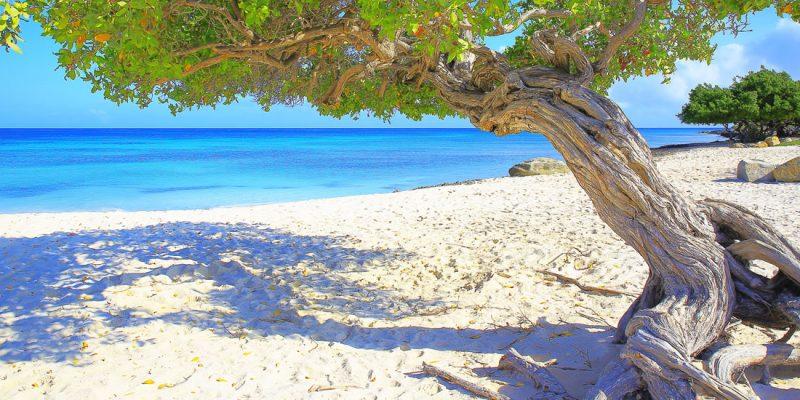 Divi divi tree growing on the beach in Aruba