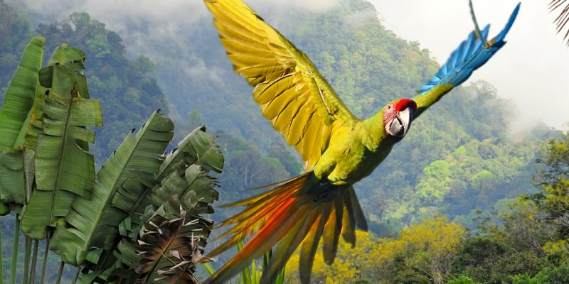 Great green macaws in Costa Rica